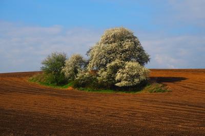 Drzewo w polu-1.jpeg